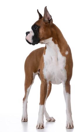 perro boxer: boxeador de raza pura de pie sobre fondo blanco