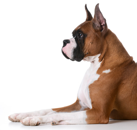 laying down: purebred boxer laying down on white background