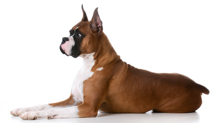 purebred: purebred boxer laying down on white background