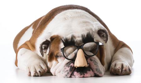 wrinkled brow: dog wearing human face glasses on white background - english bulldog