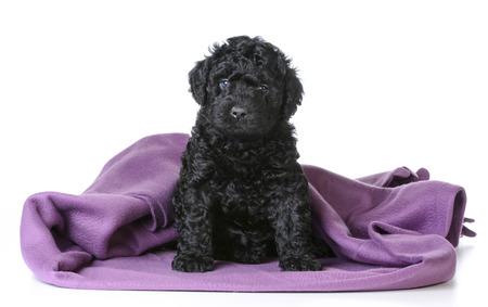 viewer: cute barbet puppy under a purple blanket - 5 weeks old