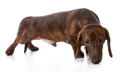dog sniffing - dachshund sniffing the ground on white background