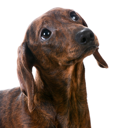 miniature smooth dachshund portrait on white background Stock fotó