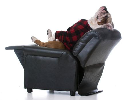 bulldog: perro cansado - bulldog estir� la espalda apoyada en un sill�n reclinable en el fondo blanco