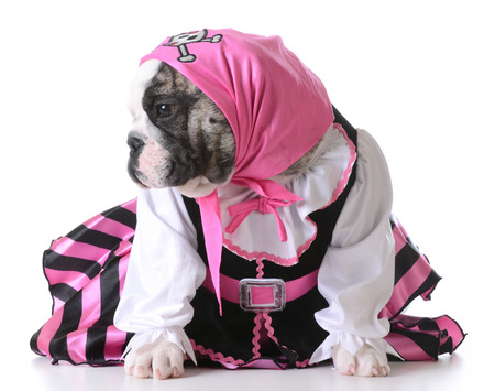 female pirate: dog dressed up like a pirate on white background - bulldog female