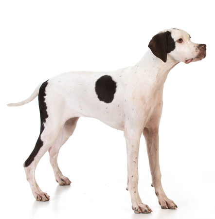 pointer dog: pointer puppy standing on white background Stock Photo