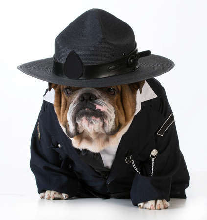 police dog: police officer or dog catcher - english bulldog wearing costume on white background