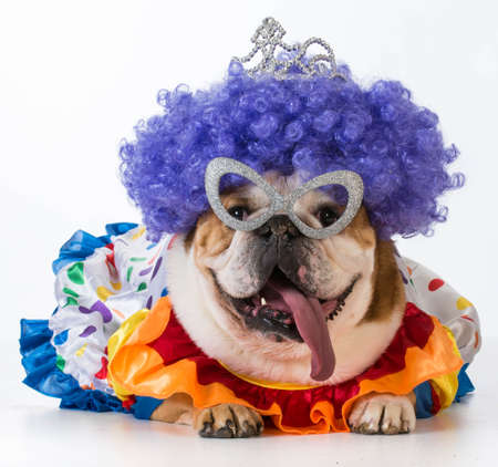 Humor: funny dog - english bulldog dressed up like a clown on white background