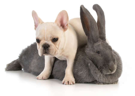 animals together: bunny and puppy - french bulldog puppy climbing over flemish bunny on white background