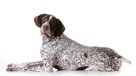 lovable: senior dog - german shorthaired pointer with silly expression on white background