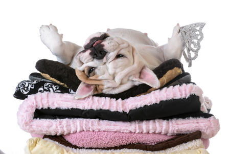 spoiled: spoiled dog laying on a pile of soft dog beds isolated on white background - english bulldog
