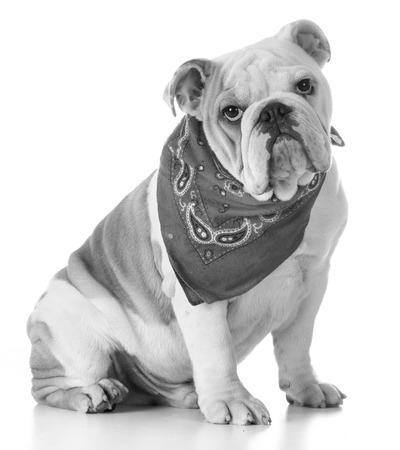 bandanna: cute puppy - bulldog puppy wearing bandanna Stock Photo