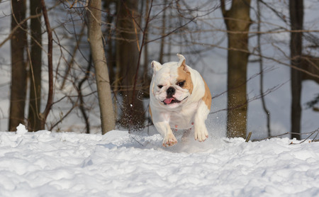 4 year old: bulldog running in the snow - 4 year old female