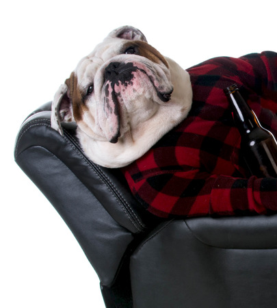 recliner: drinking dog - bulldog dressed like a man laying in a recliner with a beer on white background