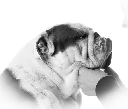 mans best friend: mans best friend - woman holding bulldogs face on white background