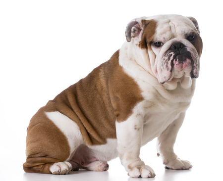 looking at viewer: bulldog sitting looking at viewer on white background