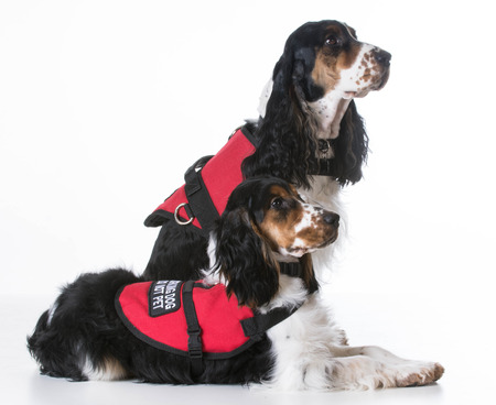 service: service dogs - two english cocker spaniels wearing vests on white background