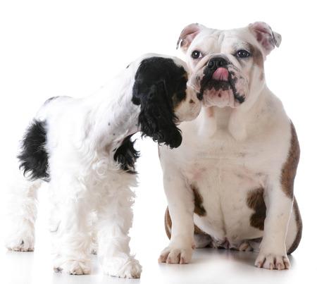 puppy love: Puppy Love - cocker spaniel ingl�s y Ingl�s bulldog bes�ndose en el fondo blanco