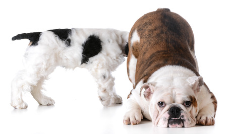 huh: animal behaviour - one dog sniffing another dogs backside Stock Photo