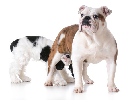 backside: animal behaviour - one dog sniffing another dogs backside Stock Photo