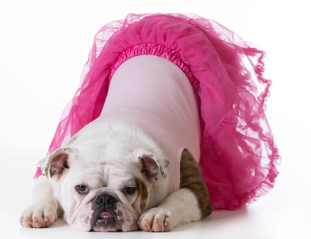 bowing: cute puppy - bulldog puppy female wearing pink bowing for the camera