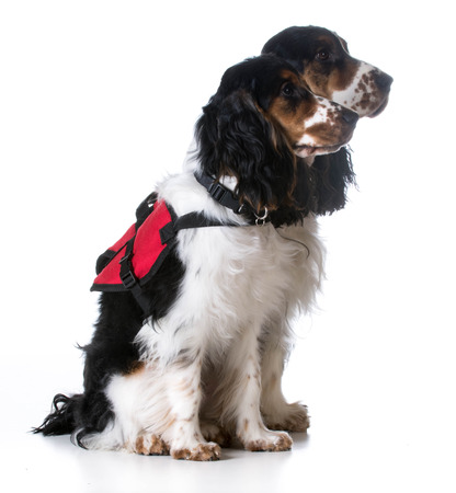 medical services: service dogs - two english cocker spaniels wearing vests on white background