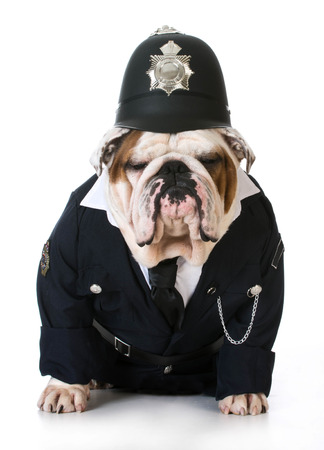police helmet: dog police or catcher - english bulldog dressed up like a policeman on white background