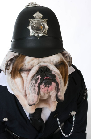 dog in costume: dog police or catcher - english bulldog dressed up like a policeman on white background