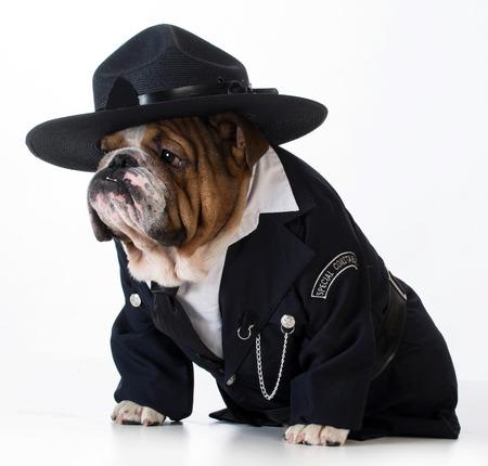 perro policia: oficial de policía o perrero - Inglés bulldog usar traje en el fondo blanco Foto de archivo