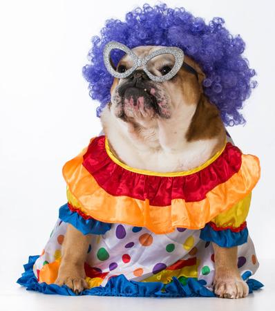 like english: funny dog - english bulldog dressed up like a clown on white background
