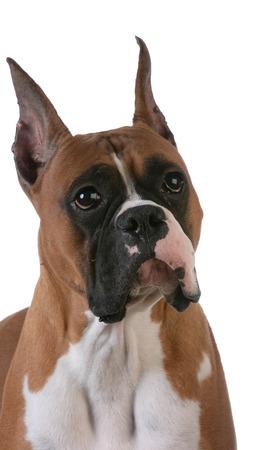 purebred: portrait of purebred boxer on white background