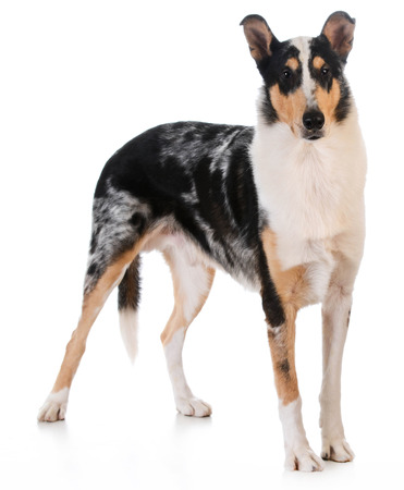 smooth: smooth haired collie standing on white background