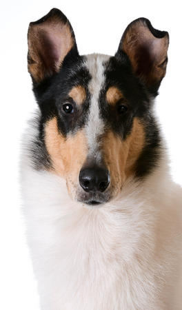 haired: smooth haired collie portrait on white background