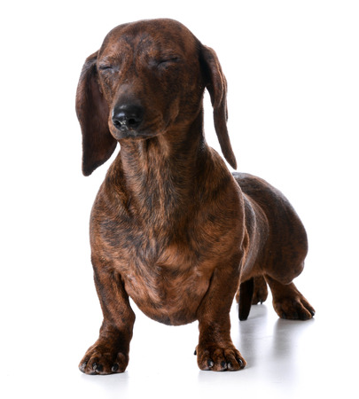 sniff dog: miniature smooth dachshund with both eyes closed on white background Stock Photo