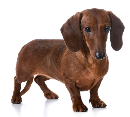 sniff dog: miniature smooth dachshund standing on white background Stock Photo