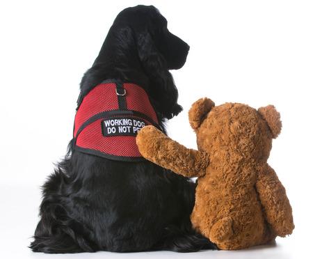 servicio domestico: perro de terapia se consoló con un oso de peluche en el fondo blanco