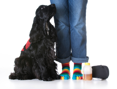 pet therapy: service dog - diabetic trained service dog sitting beside owner Stock Photo