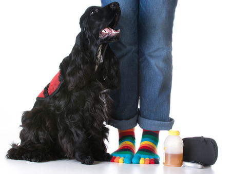 service dog: service dog - diabetic trained service dog sitting beside owner Stock Photo