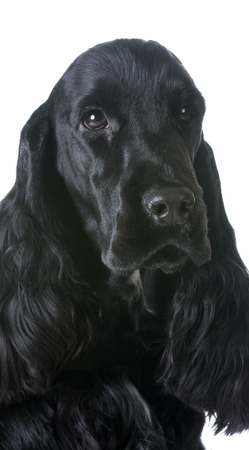 english cocker spaniel: english cocker spaniel portrait on white background