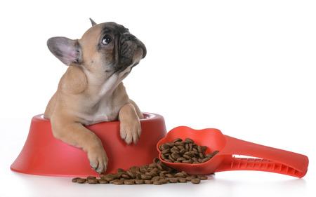 štěně výživa - francouzský buldoček uvnitř psí misce na bílém pozadí