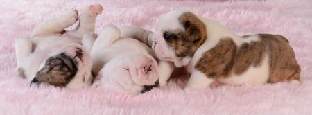brindle: litter of puppies - bulldog females 3 weeks old Stock Photo