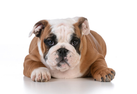looking at viewer: bulldog puppy laying down looking at viewer on white background - 12 weeks old