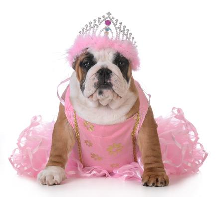 bulldog: spoiled dog - english bulldog dressed up like a princess on white