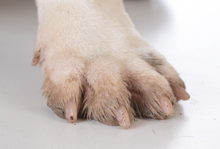 dirty feet: dirty dog feet or paw on white