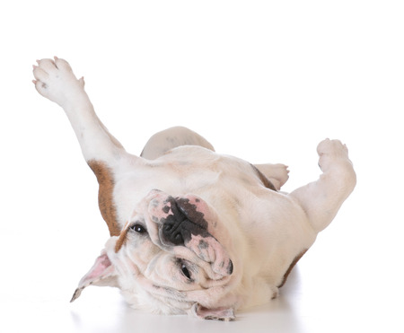 scratches: itchy dog - bulldog laying upside down looking at viewer on white background Stock Photo