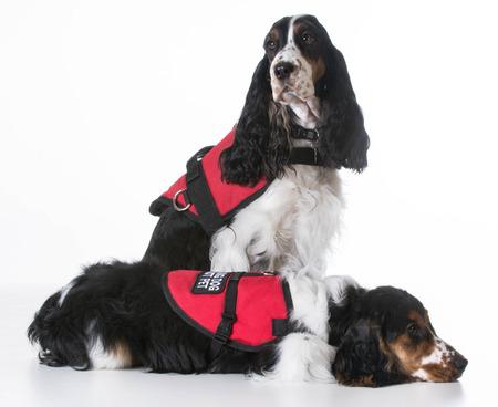 servicio domestico: perros de servicio - dos perros de aguas de cocker inglés con chalecos en el fondo blanco