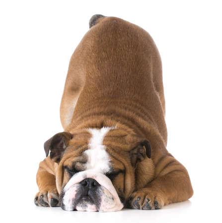 bowing head: dog bowing - bulldog puppy with bum up in the air on white background Stock Photo