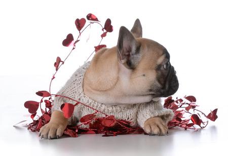 frenchie: valentines day puppy on white background - french bulldog