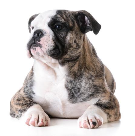 bulldog: lindo cachorro - bulldog cachorro hembra que coloca en el fondo blanco