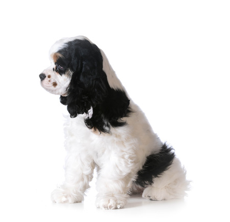 american cocker spaniel: cute puppy - american cocker spaniel puppy sitting on white background Stock Photo